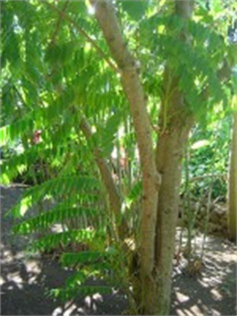 1 Biji Benih Bonsai Buah Belimbing Wuluh de geneeskracht birambi of blimbing mens en