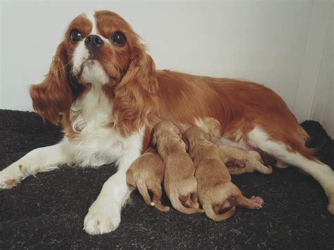 disney puppies disney puppies glendream cockapoos