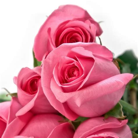 themes rose zedge download rose wallpapers to your cell phone for my