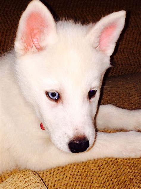 and white husky puppy stunning white husky puppy holywell clwyd pets4homes