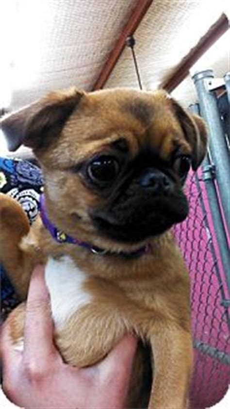 japanese pug japanese chin pug mix for adoption in college station bubbles