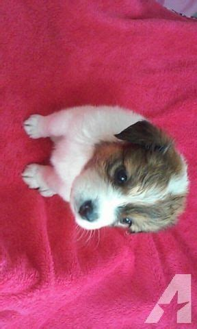 yorkie poo puppies for sale houston 17 best ideas about yorkie poo for sale on yorkie puppies yorkie poo
