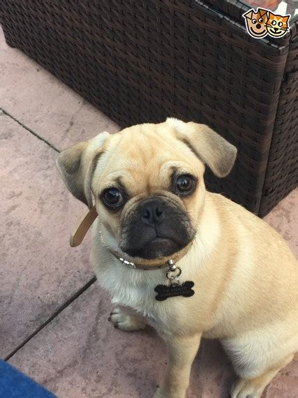 pugs for sale in northtonshire 3 4 pug for sale kettering northtonshire pets4homes