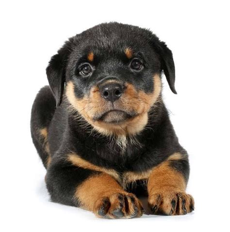 best rottweiler names best 25 rottweiler pictures ideas on rottweiler puppies rottweilers and