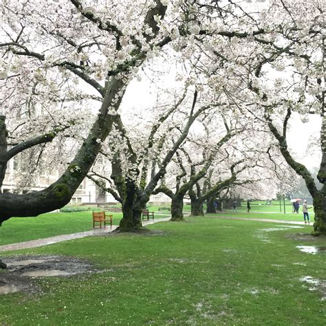 u of s cherry trees of washington seattle for cherry trees in bloom on cus jrrny