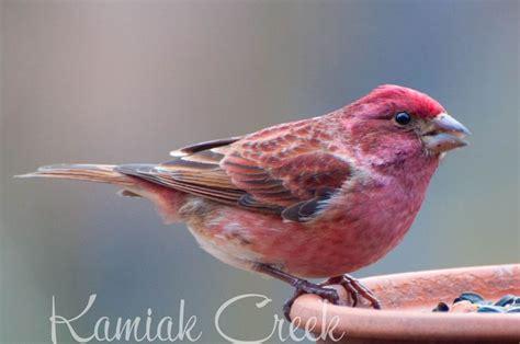 45 best ideas about winter birds of wisconsin on pinterest