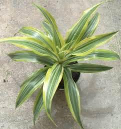 houseplants for low light conditions dracaena house plant mania pinterest