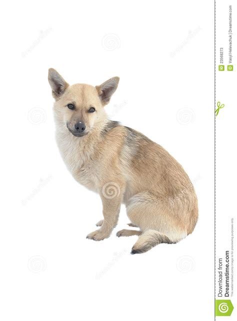 puppy light light brown dogs www imgkid the image kid has it