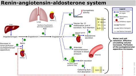 raas system flowchart renin angiotensin system