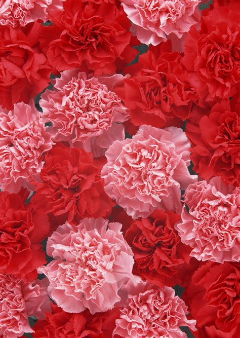 facts about carnations carnation facts why carnations are the best