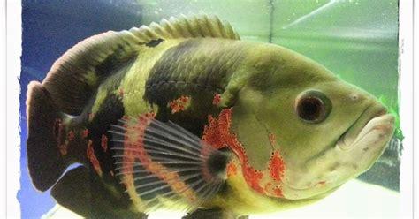 Ikan Oscar Kecil mancing alam mengenal ikan oscar