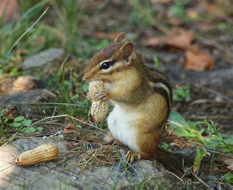 how to get a chipmunk out of your house how to get a chipmunk out of your house 28 images six tips to avoid chipmunk