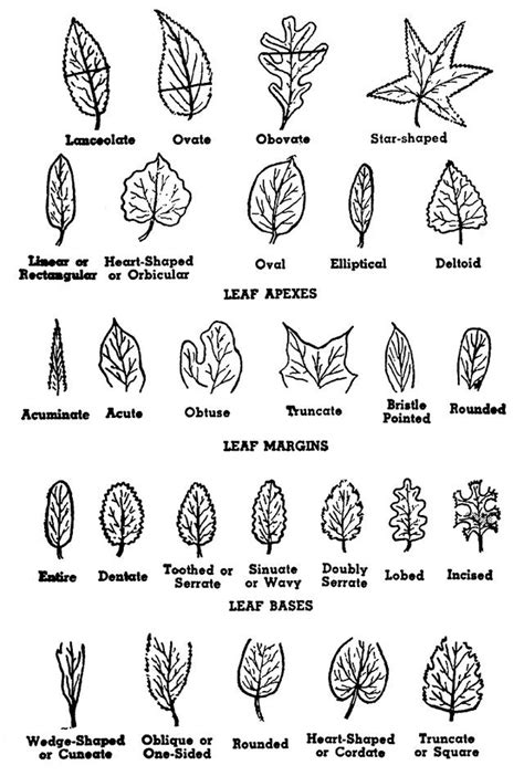 tree leaf diagram how to identify a tree by its parts tree structure