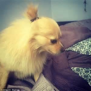 dog with man bun social media craze sees dogs sport buns on their heads