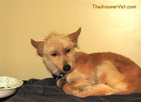 distemper for puppies distemper in dogs vaccine