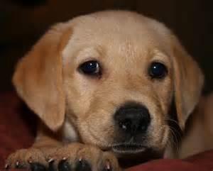 how much are golden retriever puppies worth 25 best ideas about golden labrador puppies on golden retriever labrador