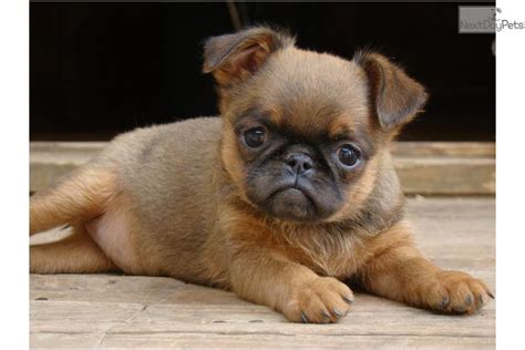 brussels griffon puppies for sale autre brussels griffon puppy for sale near moscow russian federation 30877f5b 44c1