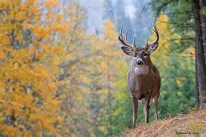 deer tail submited images
