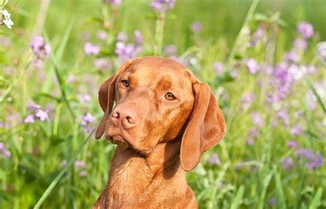 vizsla puppy cost vizsla dogs and puppies breeds journal breeds journal