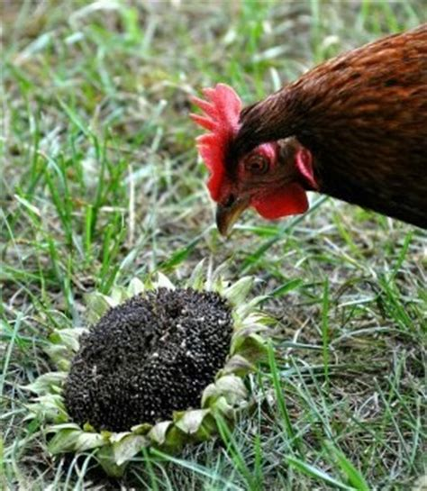 benefits of feeding sunflower seeds to egg laying hens