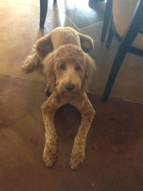 how to cut a goldendoodles hair goldendoodle hair cut goldendoodle pinterest