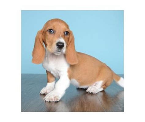 basset hound puppies for sale in arkansas 15 best images about basset hound puppies on