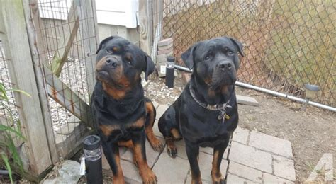 rottweiler breeders ohio rottweiler puppies for sale in massillon ohio classified americanlisted