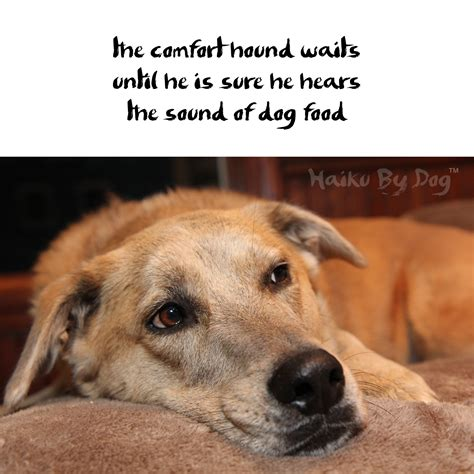 comfort dogs haiku by the comfort hound waits until he is sure he hears the sound of food