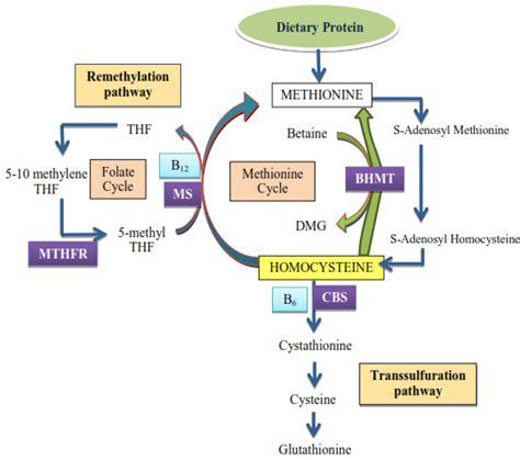 alimenti con progesterone omocisteina alta scopri tutte le cause i sintomi ed i