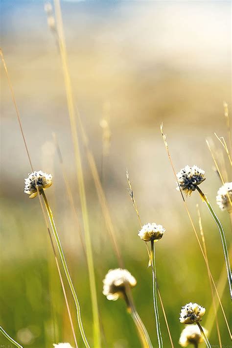 mc wallpaper flower dandelion green nature papersco