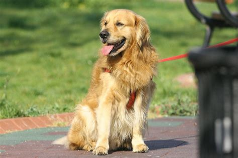 why are some golden retrievers world s most gentle breeds corner