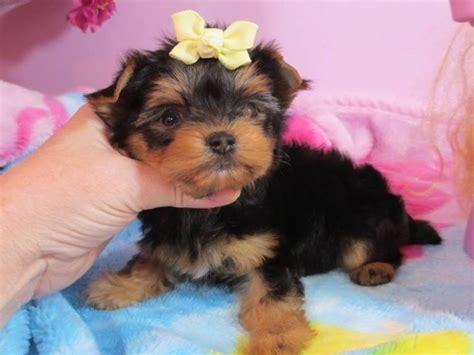 teacup yorkie kansas city registered pug puppies for adoption garden city ks asnclassifieds
