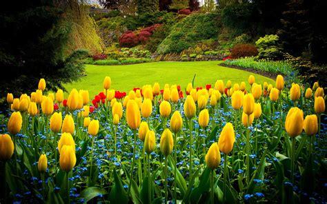 tulipani in giardino tulipani gialli in giardino hd sfondo desktop a