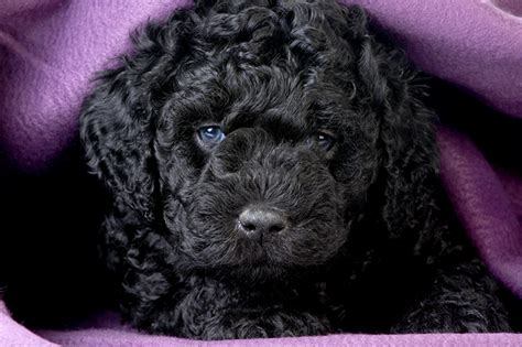 barbet puppies barbet puppy www pixshark images galleries with a bite