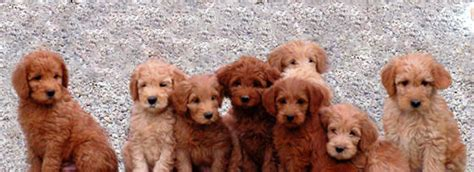 cheap labradoodle puppies for sale puppies near me pets world