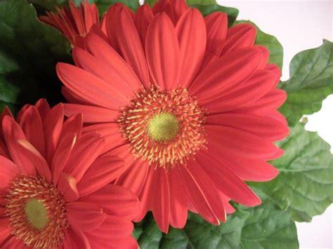 linguaggio dei fiori gerbera gerbera piante perenni come coltivare la gerbera