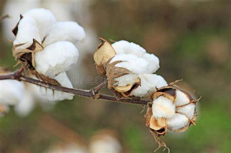 fiore cotone fiore cotone fotografia stock immagine di