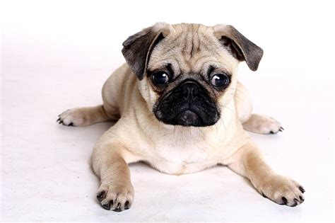 a picture of a pug beautiful pug pugs photo 13728022 fanpop