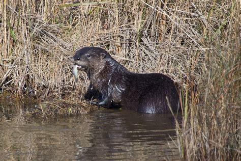 Chappaquiddick Speech Analysis Coastal Otter Research Biodiversityworks