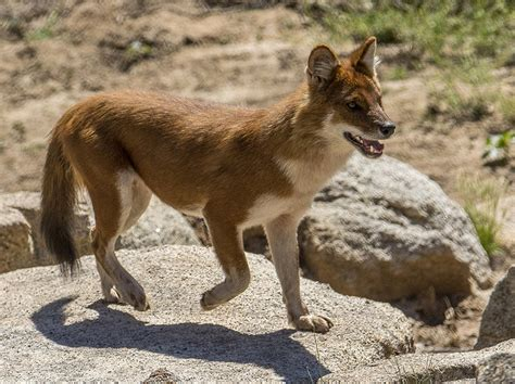 dhole puppy feeling confident in his new digs dhole explores new habitat at san diego zoo safari park