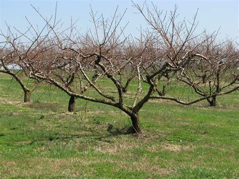 pruning fruit trees kentucky home gardens pruning fruit trees
