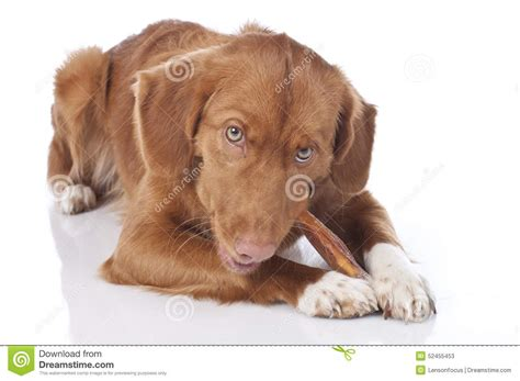 golden retriever toys for chewing retriever is chewing a chew stock photo image 52455453