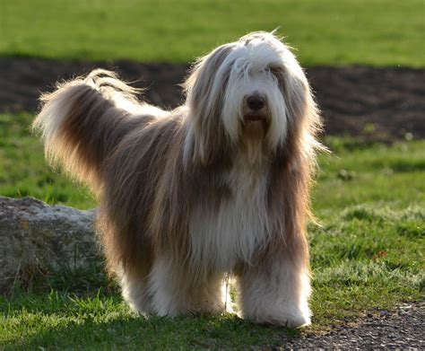bearded collie puppy bearded collie rescue breeders characteristics pictures facts animals adda
