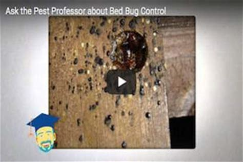 why do bed bugs come where do bed bugs come from identify bed bugs info