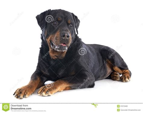 white rottweiler rottweiler stock photo image 31373460