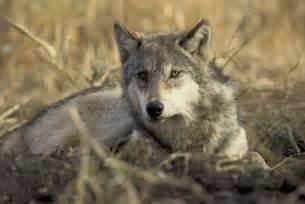 gray wolf redorbit