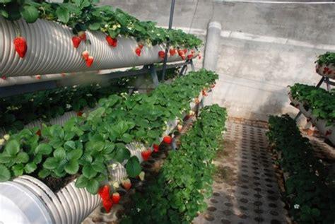 membuat hidroponik dari pipa paralon cara menanam strawberry hidroponik bibitbunga com