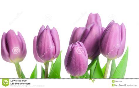 border  beautiful purple spring tulips stock photo