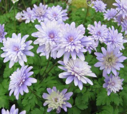 anemone apennina pottertons nursery anemone apennina double form