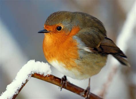 winter robin flickr explore frontpage 11 december 30